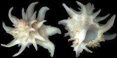 Coralliophilidae pictures