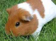 Guinea Pig - our newest resident! NM
