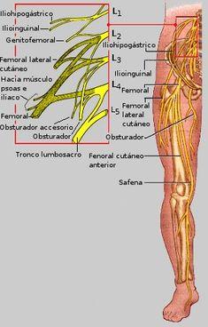 Plexo lumbar Hip Anatomy, Nerve Anatomy, Anatomy Bones, Body Muscle Anatomy, Human Body Anatomy, Human Anatomy And Physiology, Medicine Notes, Health And Fitness Apps, Nursing School Notes