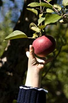 Fruit Gardening Tips- for when I start growing apples in my new backyard