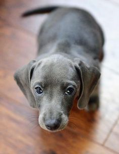 this is the first time that I saw a blue dachshund..... I think I might want one in the future
