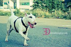 Ciro Bull Terrier
