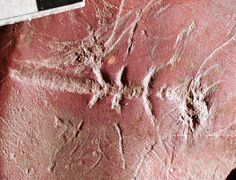 Ancient winged Insect left Impression in Carboniferous Mud