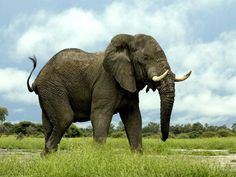 Elephants are the world's largest land animals now living. The largest elephant ever recorded was shot in Angola in 1956. This male weighed about 24,000 lb (11,000 kg), with a shoulder height of 3.96 meters (13.0 ft), a metre (yard) taller than the average male African #elephant.