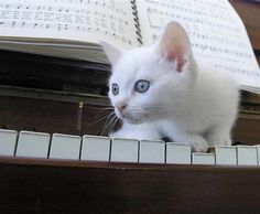 White Mozart Kitten by PicturesOfCats on Flickr.