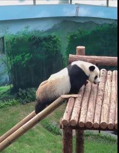 Cute Wild Animals, Baby Animals Pictures, Cute Little Animals, Cute Funny Animals, Animals Beautiful, Cute Cats, Panda Funny, Cute Panda, Animal Jokes