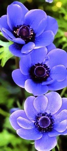 Order: Ranunculales Family: Ranunculaceae Genus: Anemone.