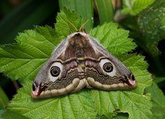 'Emperor moth' (Saturnia pavonia)