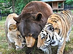 Baloo the American black bear (Ursus americanus ), Leo the African lion (Panthera leo), and Shere Khan the Bengal tiger (Panthera tigris) at Noah's Ark animal sanctuary in Georgia. The sanctuary is open to the public for tours during certain hours.