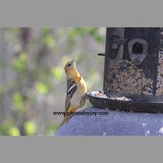 Female Oriole in the backyard!