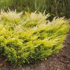 Juniperus Horizontalis Lime Glow Conifer