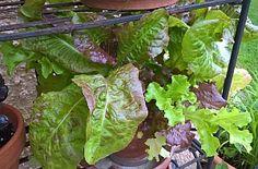 Salatanbau im Topf