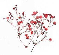 babys breath red - Google Search