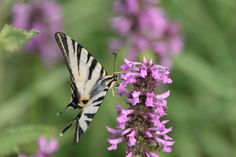 Butterfly – Iphiclides Podalirius - Public Domain Photos, Free Images for Commercial Use Public Domain, Free Images, Butterflies, Commercial, Photos, Pictures, Butterfly