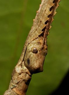 Giant Stick Insect (Tirachoidea sp., Phasmatodea) by itchydogimages John Horstman             12     4        Neuer Älter  Pu'er, Yunnan, China