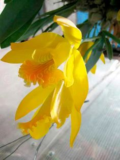 Encyclia (Euchile) citrina