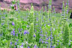 Growing Chia (Salvia hispanica). Chia is an annual herbaceous plant growing to over a metre in height. Plants can be sown in March or April under cover...