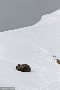Sleeping brown bear cub, Kasprowy Wierch, Tatra Mountains, Poland (6th May 2016: This bear cub has just been found dead)