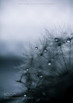 dandelion & drops by KonstantinosEleftheriadis. Please Like http://fb.me/go4photos and Follow @go4fotos Thank You. :-)