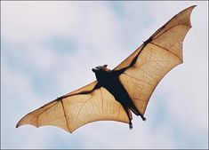 Bats are the only mammals that can fly, and they live much of their lives hanging upside down. Learn about bat wings, bats and echolocation, bat caves and bat myths. Mammals, Animal Facts, Bat Wings, Scary Halloween, Animal Kingdom, South America, Central America, Cool Pictures, Animals