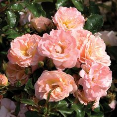 Rose, Peach Drift - Burpee Dense populations of soft peach blooms will add vibrancy and beauty to many areas of your garden. 'Peach Drift' rose is perfect for putting a Ground Cover Roses, Drift Roses, Ronsard Rose, Old Farmers Almanac, Small Shrubs, Shrub Roses, Garden Shrubs, Garden Plants, Gardens