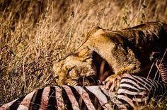 Zebra kill by a lone #lioness in #serengeti  #lion (#panthera #leo #nubicus )#massailejon  #lejon #pantheraleo #Tanzania #Afrika #Africa #cat by william_wallden @enthuseafrika