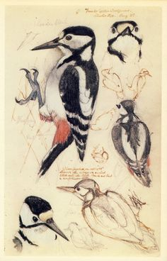 Great Spotted Woodpeckers - Charles Tunnicliffe's 'A Sketchbook of Birds'.