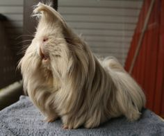 silkie guinea pig with ponytail - Google Search