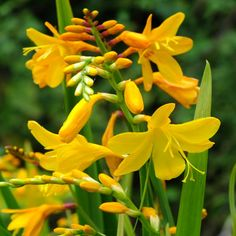 Crocosmia x crocosmiiflora 'Buttercup' - Dorset Perennials Cut Flowers, Yellow Flowers, Crocosmia, English Country Gardens, House With Porch, Summer Garden, Buttercup, Jack Frost, Perennials