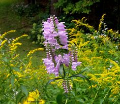Phystostegia and Goldenrod