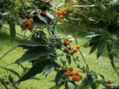 Matico Vegetables, Garden, Plants, Medicinal Plants, Shrubs, Flowers, Garten, Vegetable Recipes, Flora