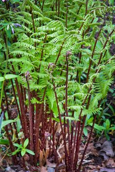 Athyrium filix-femina 'Lady in Red' fern in May spring