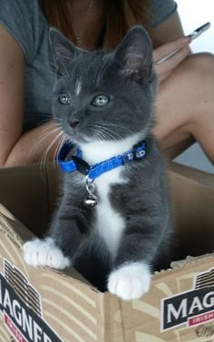 My next cat? Gray tuxedo!