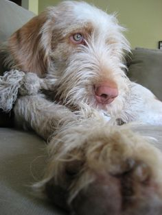 Spinone Italiano Pup ~ Classic Look Baby Puppies, Baby Dogs, Pet Dogs, Dogs And Puppies, Dog Cat, Doggies, Huge Dogs, I Love Dogs, Petit Basset Griffon Vendeen