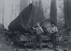 Fir logs on a rail car, Washington State, 1900