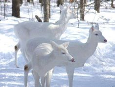 Rare and Amazing White Deer Group - http://blog.clairepeetz.com/rare-and-amazing-white-deer-group/