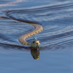 Dragonfly riding a swimming snake