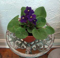 African Violet 'Rhapsodie Margit' (Saintpaulia)
