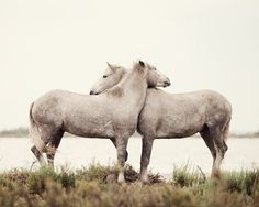Embrace - Horse Photography, White Horses, Nature, Neutral Wall Decor, Valentine, Spring, Rustic, Cream, Nursery Art, Baby's Room