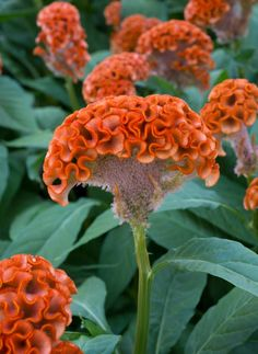 Not a coral but a flower Celosia in its coxcomb form AZ