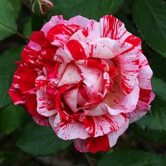 red and white rose by Thomas Grim