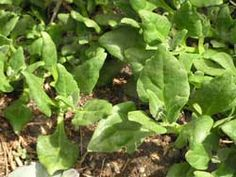 New Zealand spinach is a tasty and nourishing substitute for spinach. It's perfect to grow where heat will cause spinach to bolt.