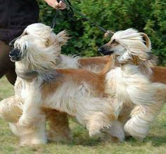 Afghan Hounds - in motion