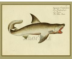 A  Anthropomorphic White Shark Scientific Illustration Art Print From A 1796 French Nature Journal  At AdamsAleArtPrints, $9.00
