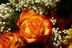 Yellow orange roses, babysbreath, flowers, orange tinged yellow roses