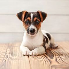 Jack Terrier, Jack Russell Terriers, Jack Russell Puppies, Parson Russell Terrier, Rat Terriers, Fox Terrier, Really Cute Dogs, I Love Dogs, Chien Jack Russel