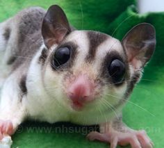 Mosaic Sugar Glider Azalea at NH Sugar Gliders is as sweet as can be ..