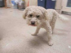 ~ Animal ID #A1198967 ‒ I am a Male, White Toy Poodle. The shelter thinks I am about 2 years old. I have been at the shelter since May 22, 2015. Riverside County Animal Control - Riverside Shelter Telephone ‒ (951) 358 7387 6851 Van Buren Blvd. Riverside, CA Fax: (951) 358-7300 https://www.facebook.com/OPCA.Shelter.Network.Alliance/photos/pb.481296865284684.-2207520000.1432903838./826146700799697/?type=3&theater