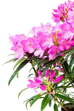 Atsalea eli ruukkuatsalea hoito-ohjeet. Atsalea on näyttävä ja runsaskukkainen kasvi.
