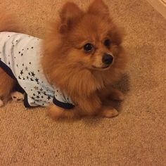 getting ready for bed #like #likes #likeme #likers #likeall #like4like #likeforlike #likefortags #likes4likes #likes5likes #likesfortags #likesforlikes #tags #tagsomeone #tagsforlikes #mrcute #socute #toocute #cutie #cutest #cute #cuteboys #cutedogs #pom #pup #puppy #pomeranian #pomstagram #pomeranianpuppy #pomeranianlovers  @cool.angel369   by yogi_the_pomeranian  http://bit.ly/teacupdogshq